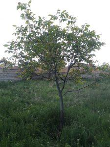 Eski Ceviz Ağacı
